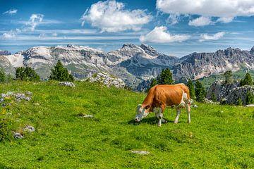 Koe in de Dolomieten