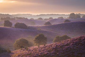 Heide in Blütezeit von Jeroen Linnenkamp