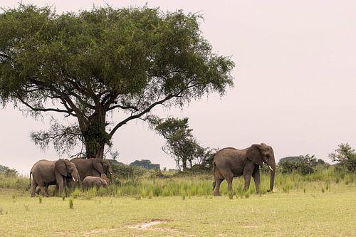 Afrikaanse olifant in Oeganda van Antwan Janssen
