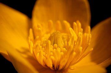Gele bloem in macro van Thomas Poots