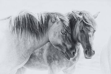 Deux chevaux konik sur Caroline van der Vecht