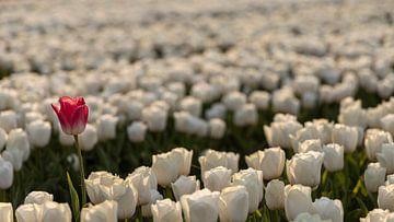 Die ene roze tulp in een veld vol witte van Studio de Waay