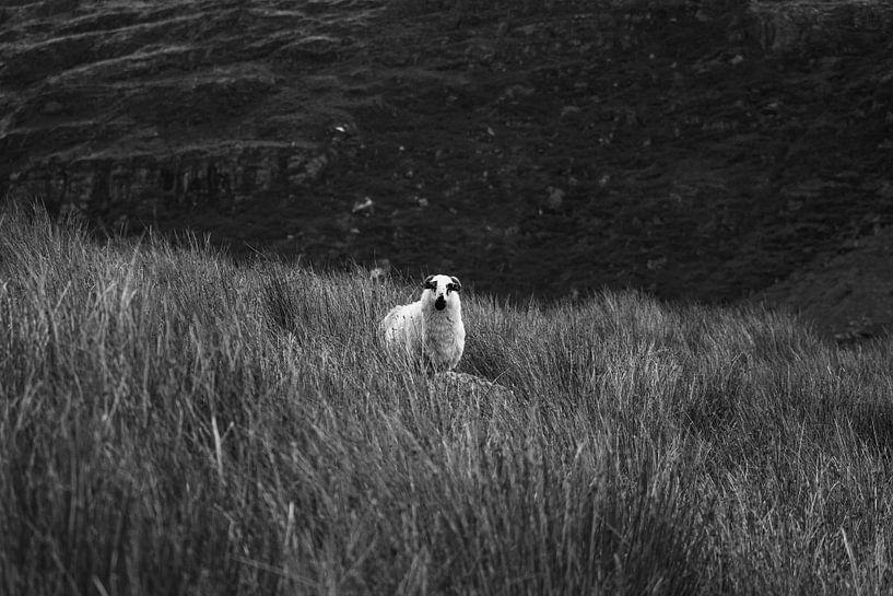 Iers schaap in de Black Valley van Licht! Fotografie