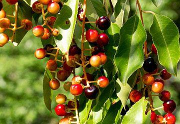 Beeren in Herbstschattierungen von Bianca ter Riet