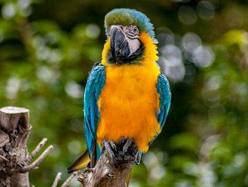 Papagei von Thomas Depauw