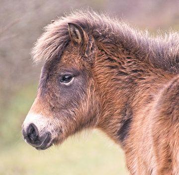 Portret Exmoor Pony van Dirk-Jan Steehouwer