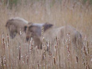 Wilde Paarden verscholen in het riet van Rosalinde Bijl