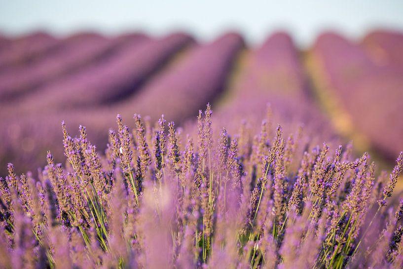 Provence lavendelveld van Uwe Merkel