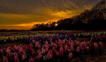 Hyacinthen bij zonsondergang  van Eric Veenboer
