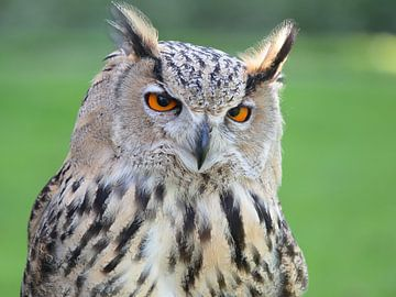 Eagle owl sur Ronald Smits