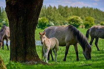 Konik-Pferdefohlen ist neugierig von Jenco van Zalk