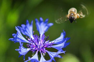 Biene im Anflug auf eine Kornblume von Reiner Conrad