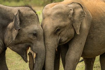 Indische Elefanten mit Jungtieren im Yala-Nationalpark Sri Lanka von Lex van Doorn