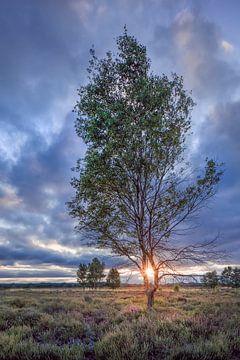 Berk op een heide land verlicht door een sunset_1 van Tony Vingerhoets