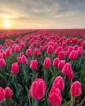 Tulpenfeld an einem nebligen Morgen. von Myrica fotografie
