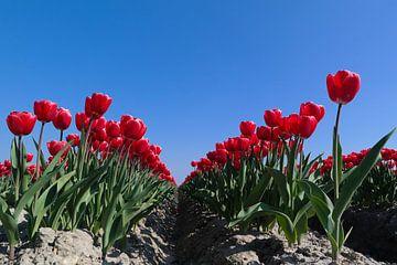 de rode tulp van Angelique Rademakers