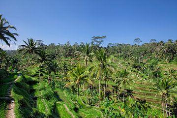 De Tegallalang rijstterrassen in Ubud izijn beroemd om zijn prachtige scènes van rijstvelden van Tjeerd Kruse