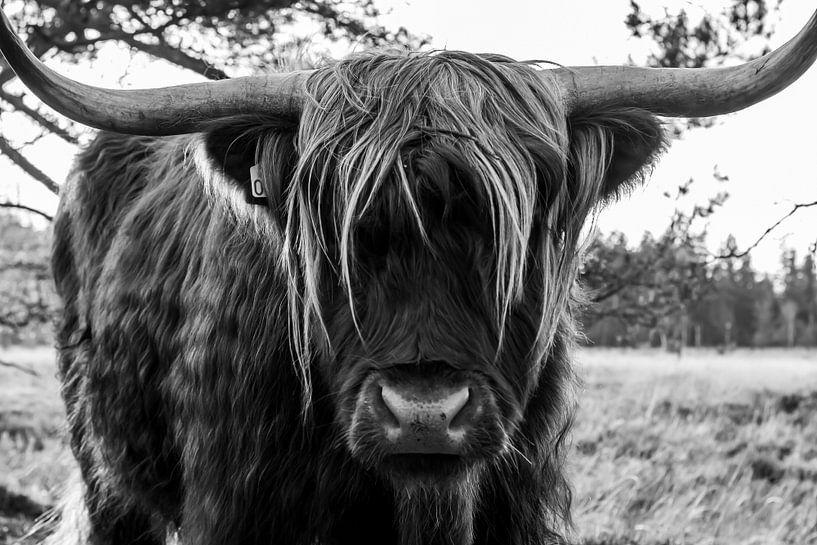 Schottischer Hochlandbewohner an der Strabrechtseheide von Natasja Bittner