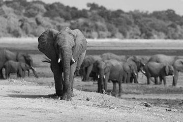 Olifantengroep in Botswana van GoWildGoNaturepictures