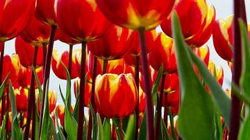 Tulpenfeld von Henriette Tischler van Sleen