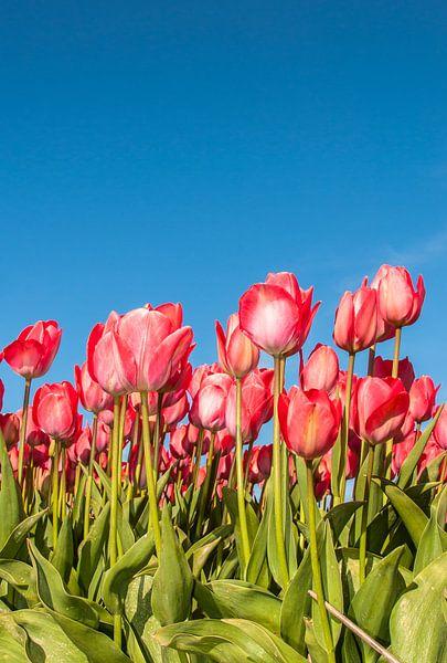 Rode Tulpen 005 van Alex Hiemstra