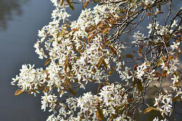 Weiße blüte von Henk-Jan Lubbers