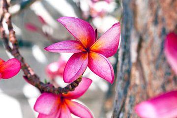 Frangipane Blume von Elyse Madlener