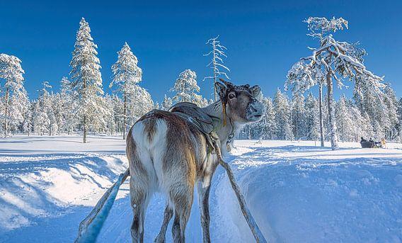 Zei je wat? Rendier kijkt om. Finland