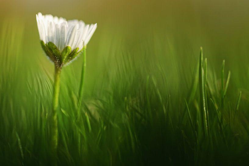 When should I wake up?..... (bloem, madeliefje) van Bob Daalder