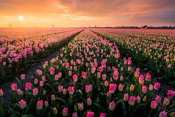 Fleurs Hollandais sur Martijn van der Nat