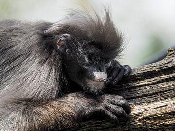 Brillangoer : Koninklijke Burgers' Zoo van Loek Lobel
