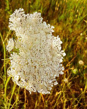 Schafgarbe weiße Blumen bei Sonnenuntergang von Jason van den Heuvel