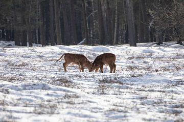 Tauros in de sneeuw, in t bos