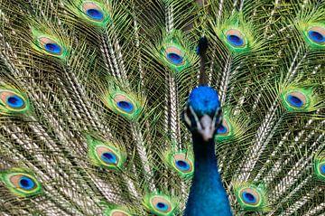 Peacock sur Aad Clemens