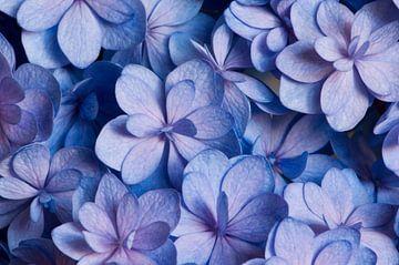 Blaue rosa Hortensien von Margot van den Berg