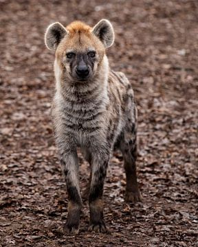 Hyänen-Pose von Patrick van Bakkum