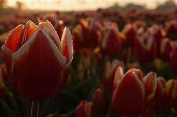 Rood met gele tulp in ochtendgloren met kleine dauwdruppels van Photos by Aad