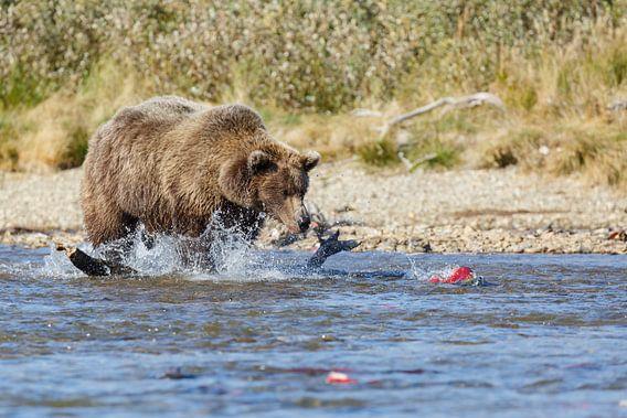 Grizzly beer jagend op rode zalm