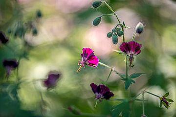 fel oplichtend bloemetje van de donkere ooievaarsbek van Hanneke Luit