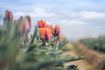 Tulpen neben der Straße von Kristof Ven