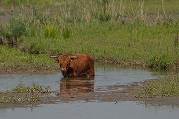Schotsehooglander in het water