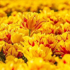Gelbe Tulpen während des Sonnenuntergangs von Stefan Fokkens