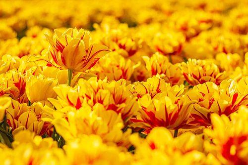 Gele tulpen tijdens de ondergaande zon