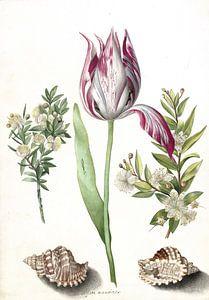 Tulp, twee takken mirte en twee schelpen, Maria Sibylla Merian  - ca. 1700