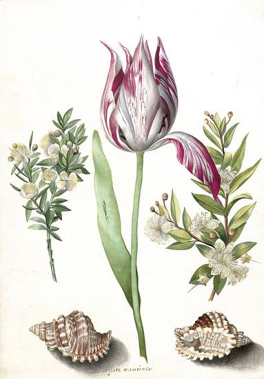 Tulp, twee takken mirte en twee schelpen, Maria Sibylla Merian  - ca. 1700 van Het Archief