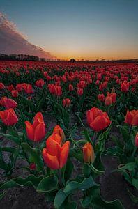 Tulipes oranges néerlandaises sur Marcel Hof