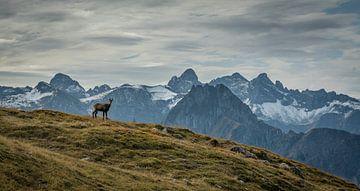 gemzen in de bergen