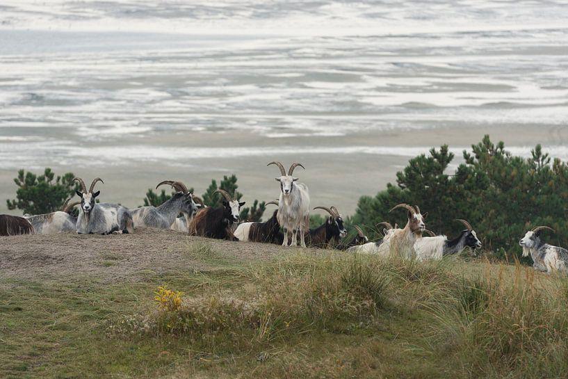 Geiten in de duinen van het eiland Terschelling van Tonko Oosterink