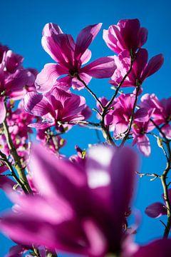Magnolia tegen blauwe lucht van