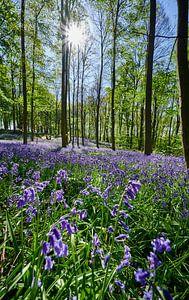 bloeiende bluebells in het bos